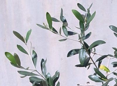 オリーブ鉢植え