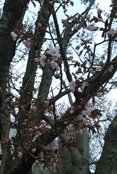 桜 - 2018.4.24 円山界隈