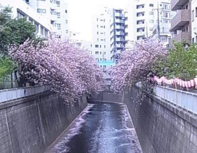 目黒川 - 八重桜
