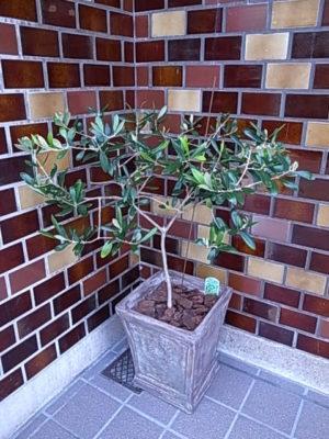 new Barca - オリーブ鉢植え