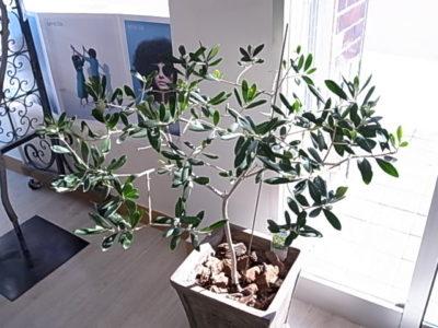 オリーブ鉢植え - 北海道仕様